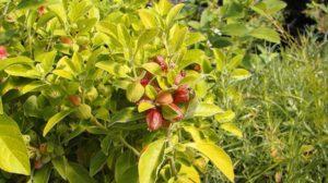 pianta di Ashwagandha