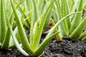 pianta di aloe vera