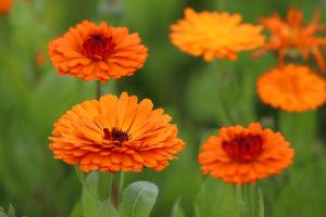 calendula fiore